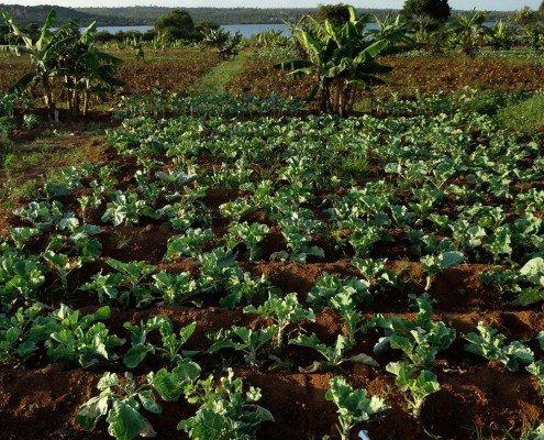 growing kale at farm