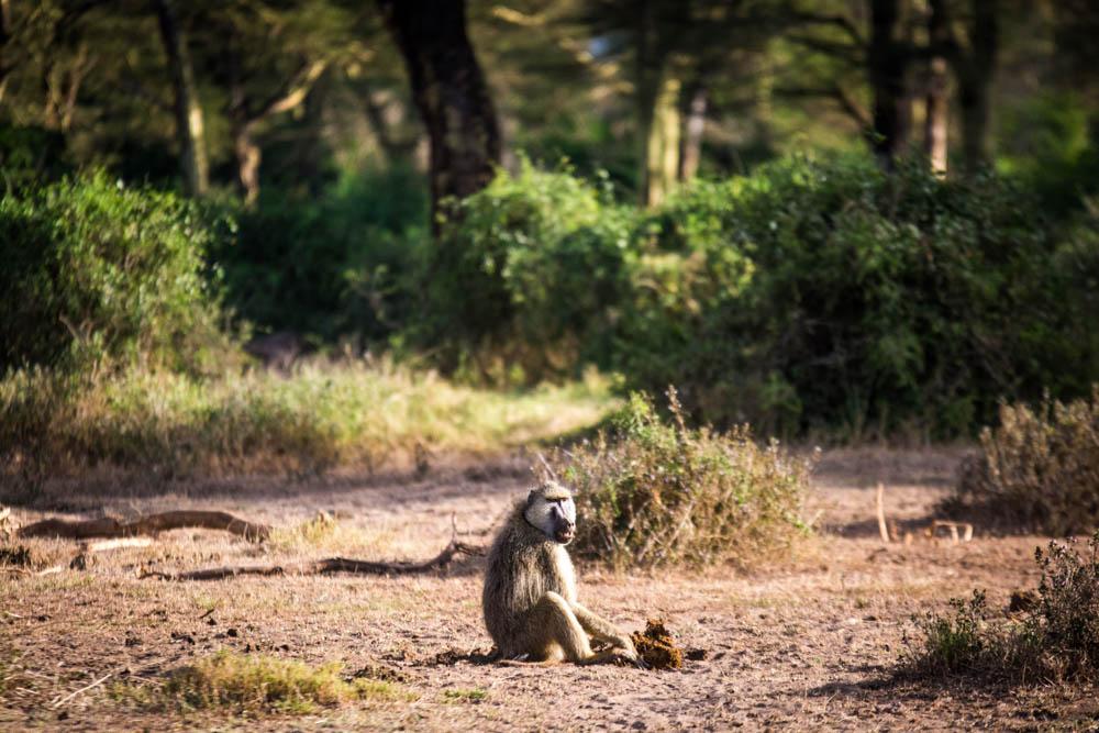 Sidai Oleng Wildlife Sanctuary, Kenya - Baboon