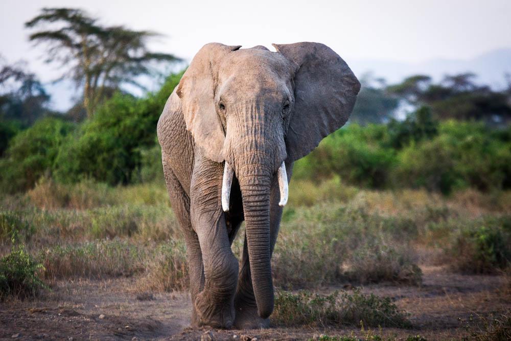 Sidai Oleng Wildlife Sanctuary, Kenya - Bull Elephant