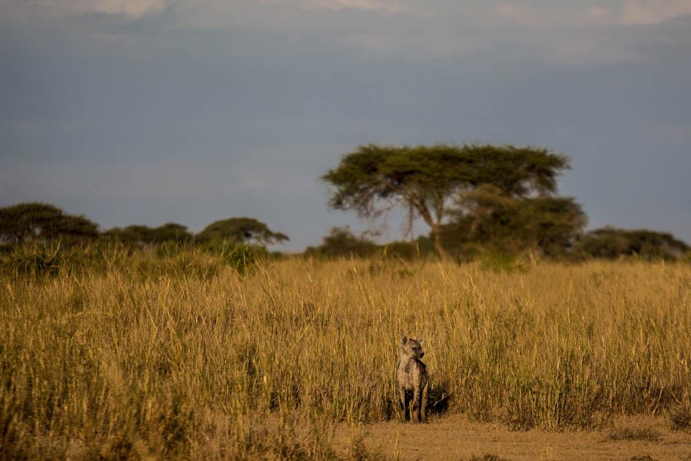 Sidai Oleng Wildlife Sanctuary, Kenya - Hyena