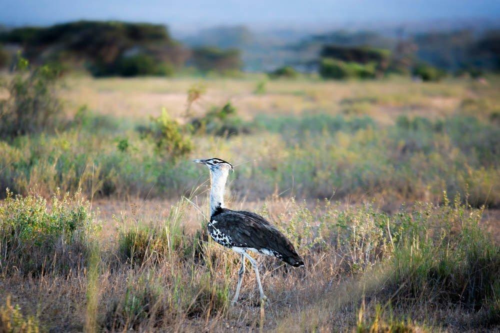 Sidai Oleng Wildlife Sanctuary, Kenya - Kori Bustard