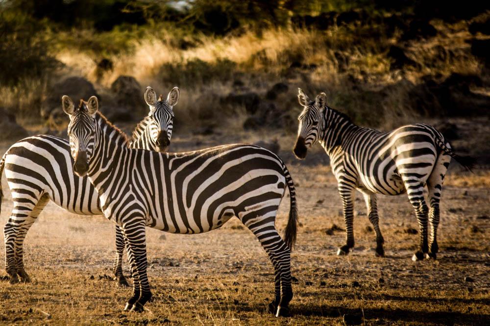 Sidai Oleng Wildlife Sanctuary, Kenya - Zebras